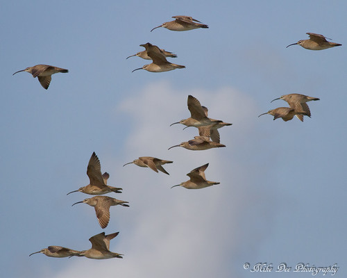 Whimbrels | by claybuster1(doing good just very busy)