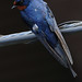 barn swallow captured by D3S