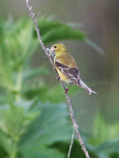 American Goldfinch female 20160628