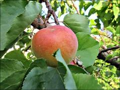 Blenheim apricot 2016