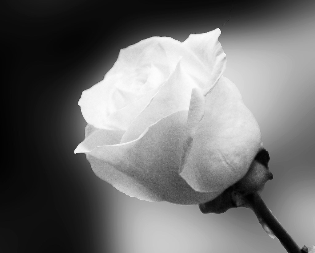 Black And White Rose Photography White Rose in Black And