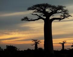 Baobabs by Sandra A.-B.