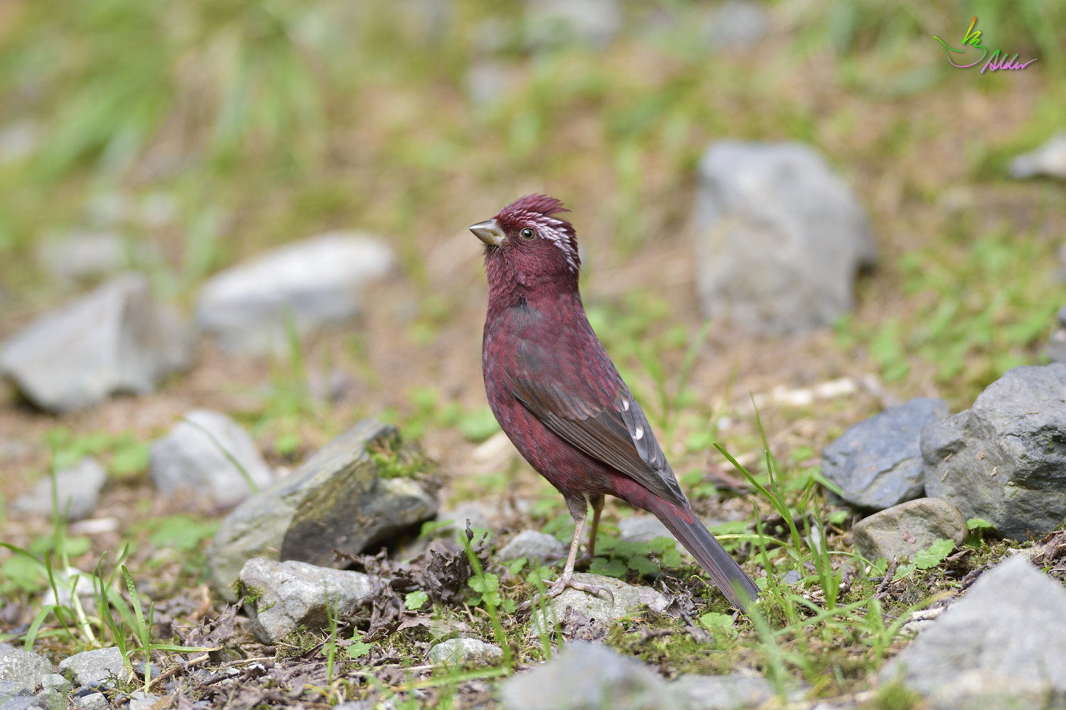 Vinacceus_Rose_Finch_5315
