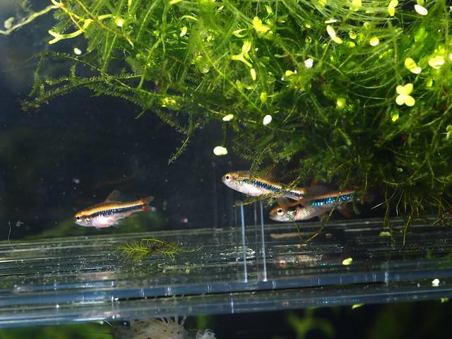 P2188430 珍珠燈魚