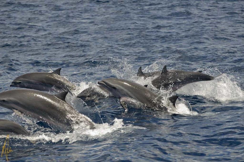 Frasiers Dolphin