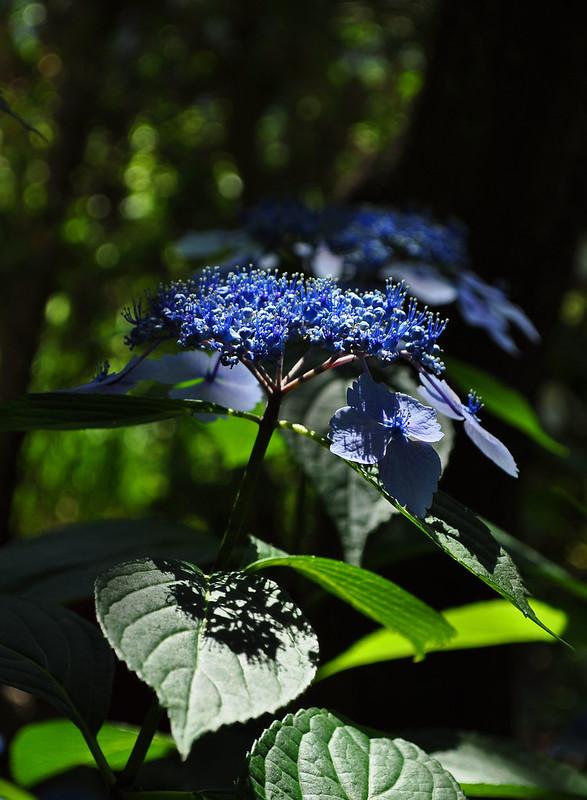 Hydrangea macrophylla serrata 'Bluebird' (1)