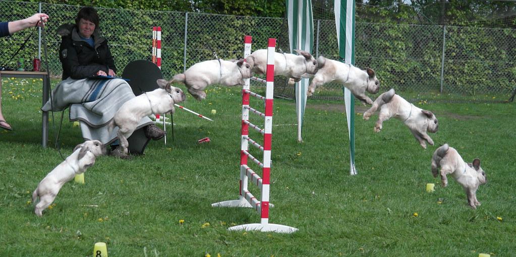 Show Jumping Bunnies Bunny Show Jumping