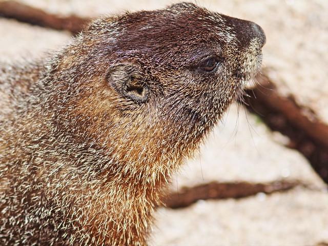 Hoary Marmot 2-20160615