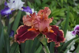 Iris Impressionist (2)