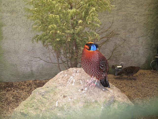 Tragopán de Temminck en Avifauna Parque Zoológico Ornitológico