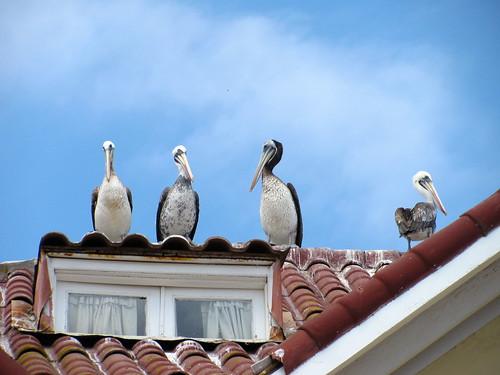 Pelícanos en el tejado