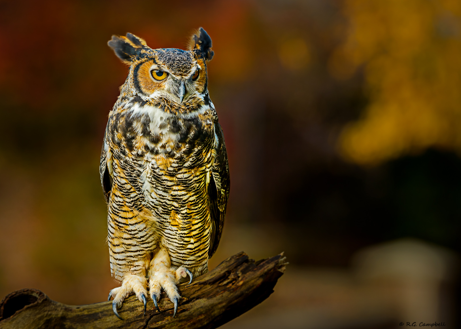 Great Horned Owl-3276