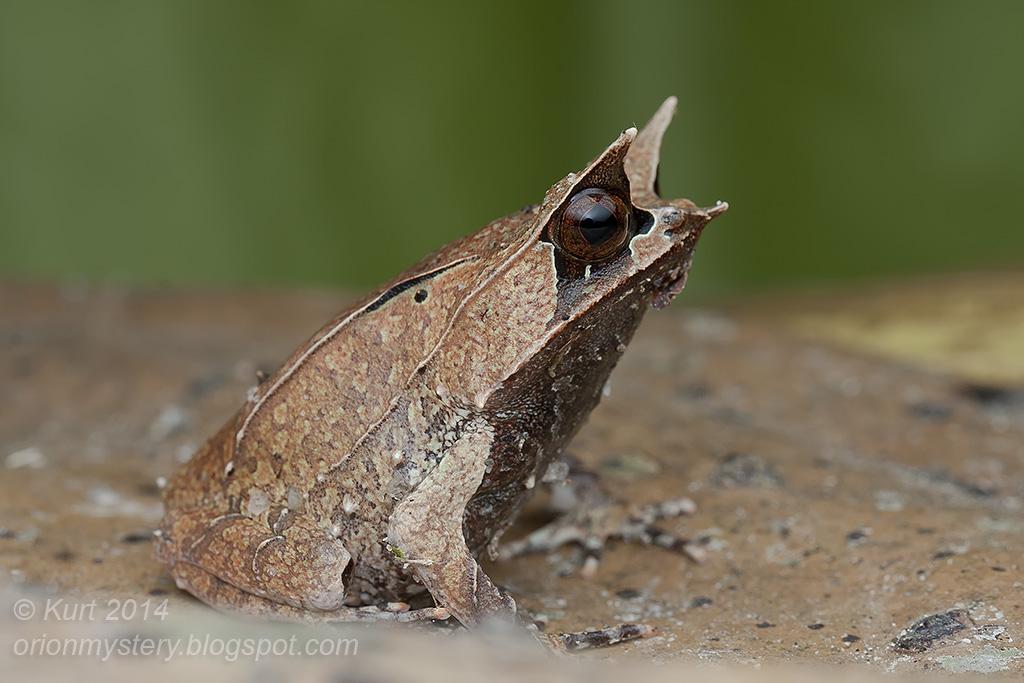 лягушка чесночница