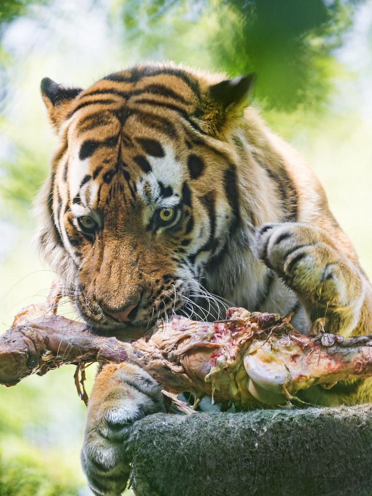Jaguar Eating Meat Jaguar Tiger Eating Meat
