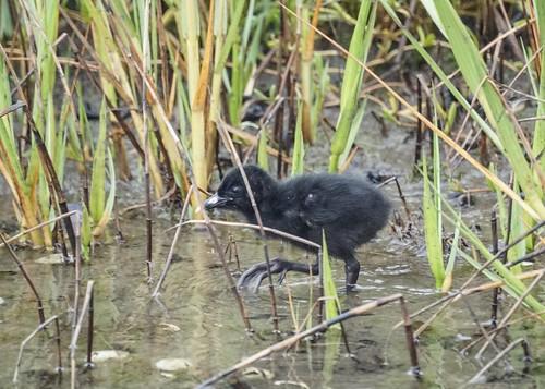 Ridgeway Rail Chick