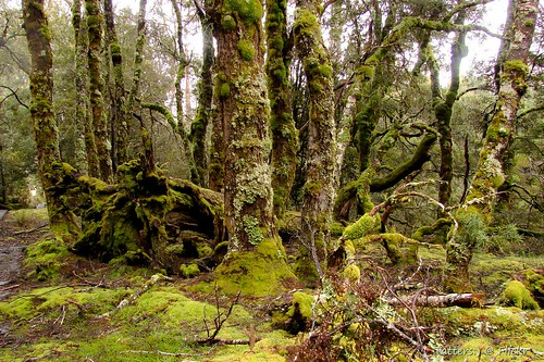 Old and mossy Myrtle-beech trees. Overland track Tasmania Day4 | by Tatters ❀
