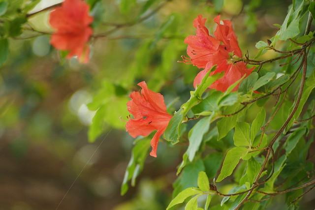 Kaempfer Azalea (Rhododendron obtusum var. kaempferi)