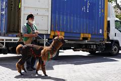 20131216-03-Christmas alpaca.jpg