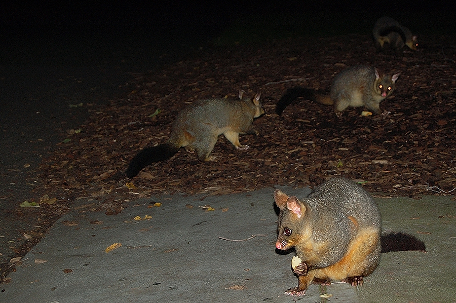 _possums_unimelb_5_