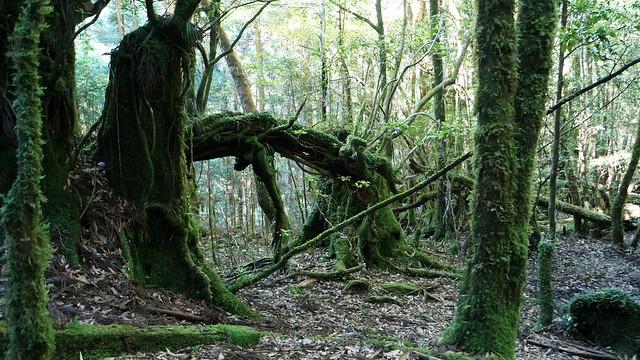 デイダラボッチのモデルとなった木ではないかと言われているらしい木。