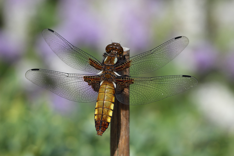 Female broad bodies chaser dragonfly — Digital Grin Photography Forum