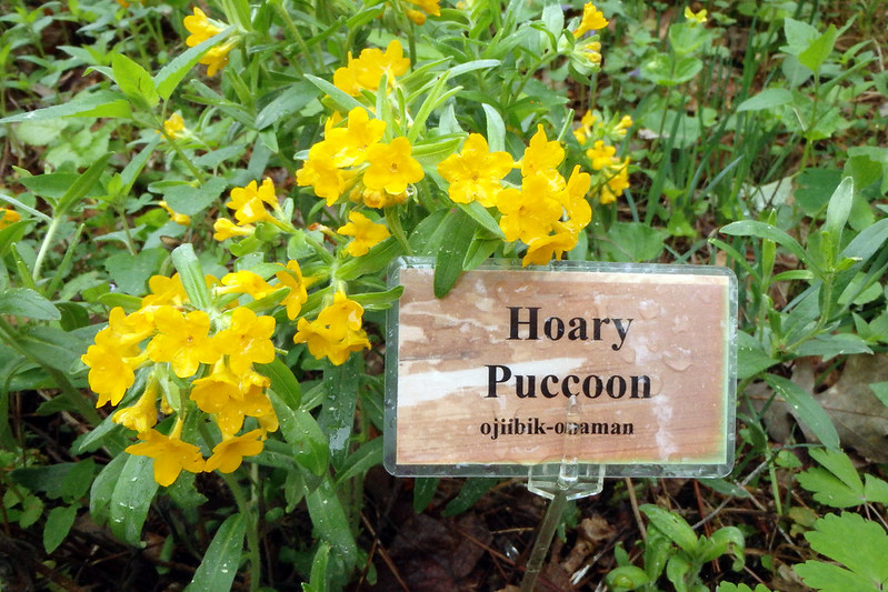 small orange flowers with a sign reading Hoary Puccoon and ojiibik-omaman