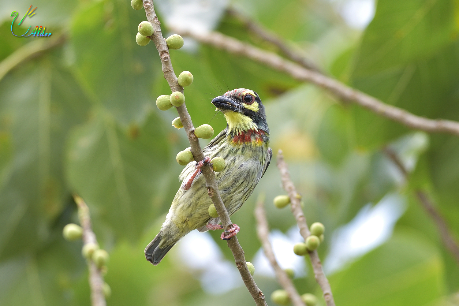 Coppersmith_Barbet_6792