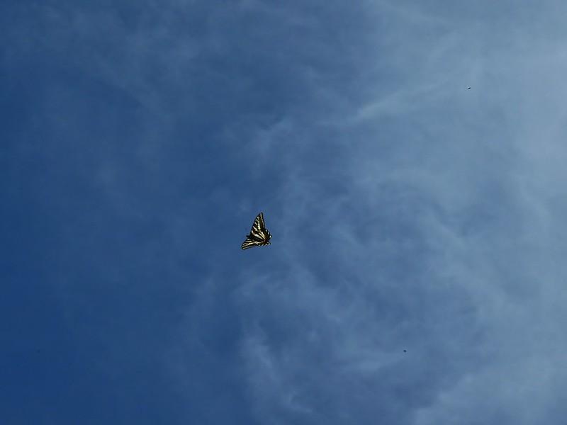 Swallowtail soaring overhead
