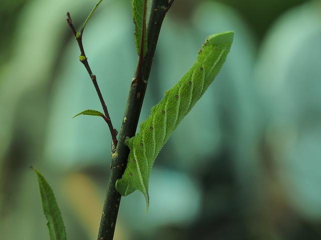 Insecte ou végétal ? 27522386771_1a67331113_z