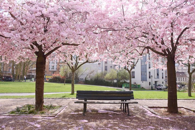 Jardin Saint-Simonian Cherry Blossoms