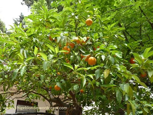 Orangenbaum, Bitterorangen