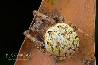 Orb Web Spider (Neoscona sp.) - DSC_2879