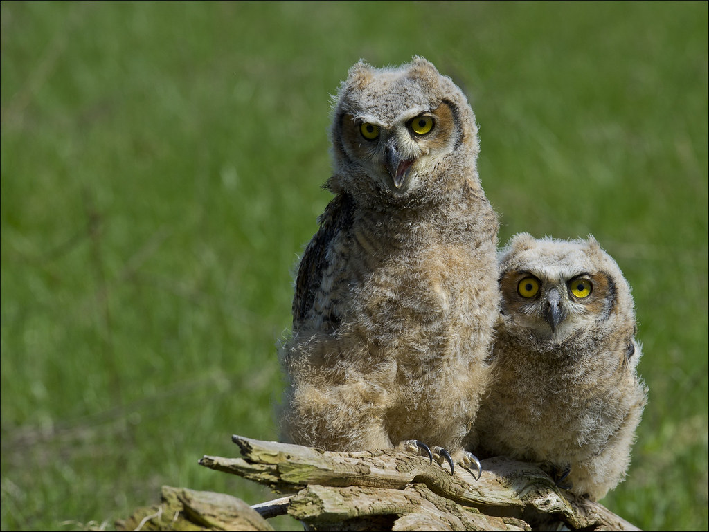 Great Horned Owl Twins 1