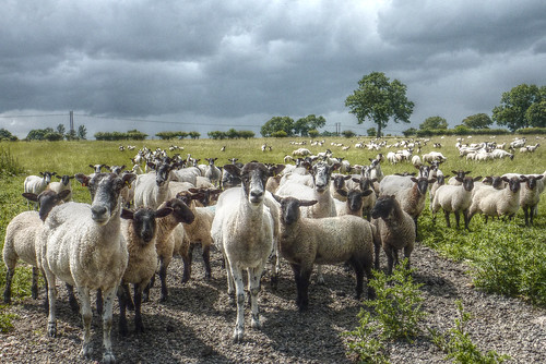 Libbery, Worcestershire - curious sheep