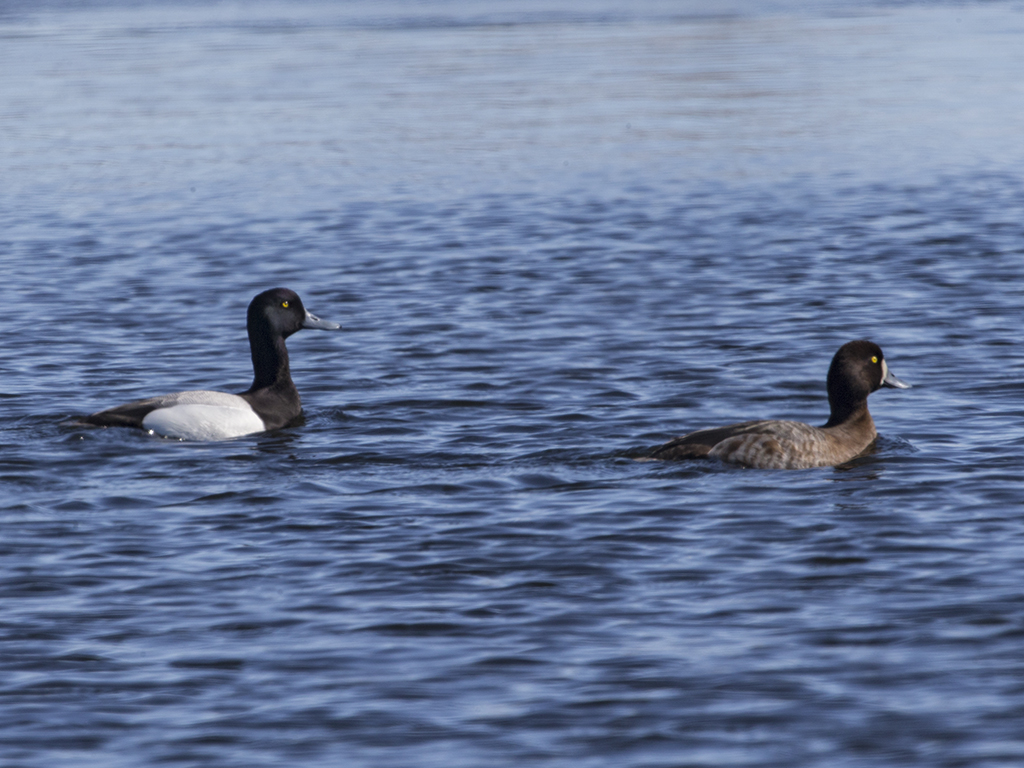 Scaup  Iceland