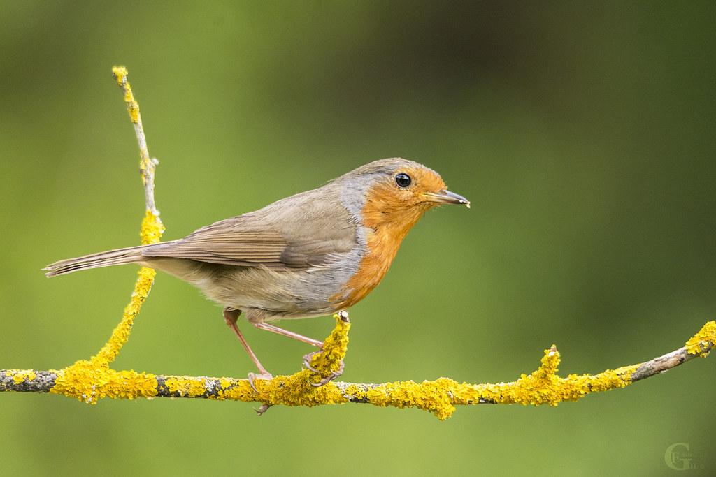 Pisco de peito ruivo I European Robin