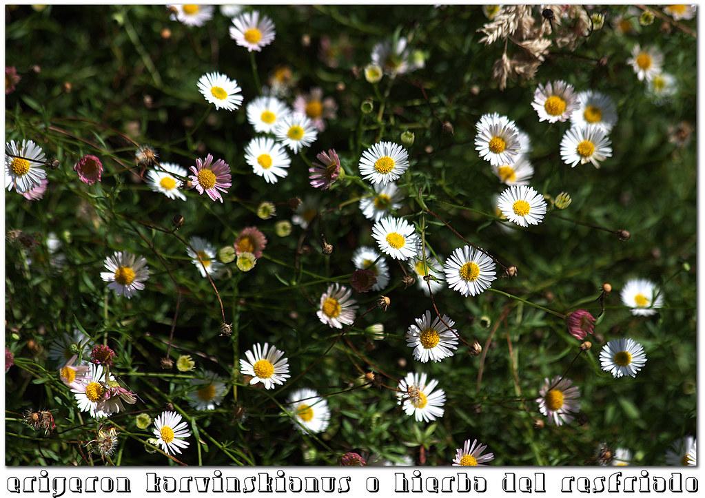 erigeron karvinskianus o hierba del resfriado