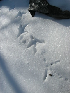 chicken tracks in snow