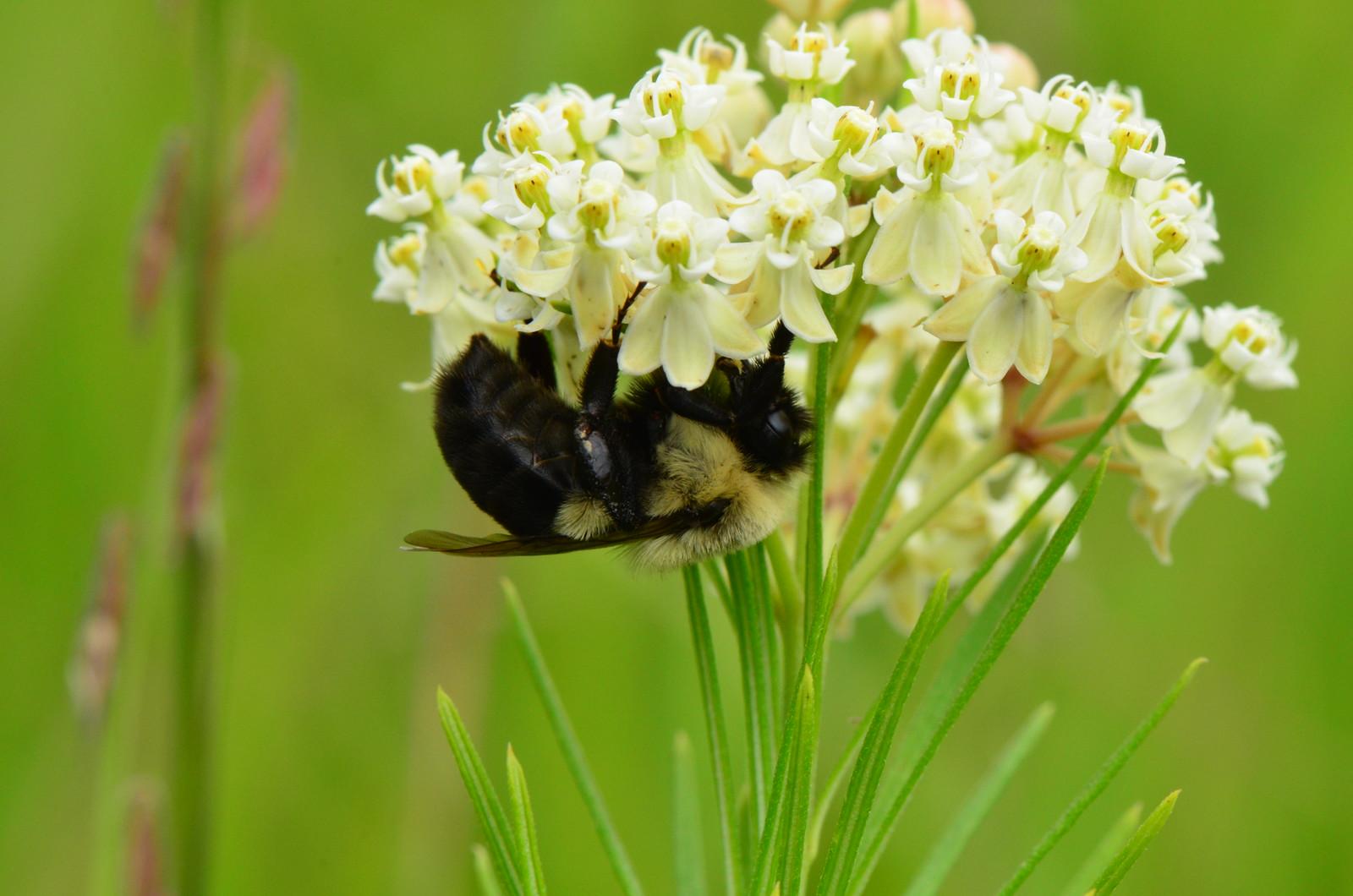 Bee on Whorled Milkweed (Asclepias verticillata)