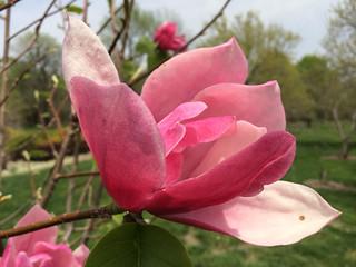 Magnolia Rosemarie