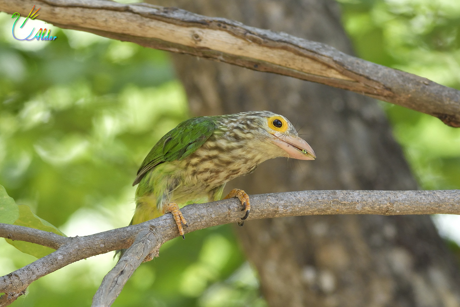 Lineated_Barbet_6829