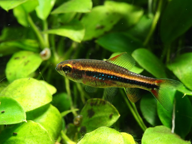 P2058086 珍珠燈魚