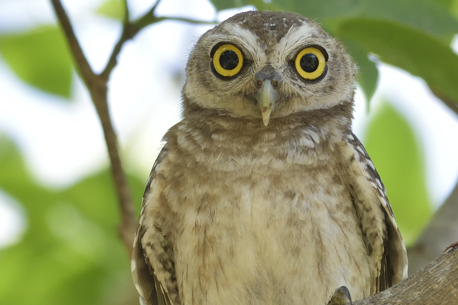 Spotted_Owlet_4360_O