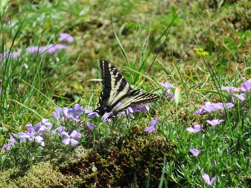 Swallowtail on phlox