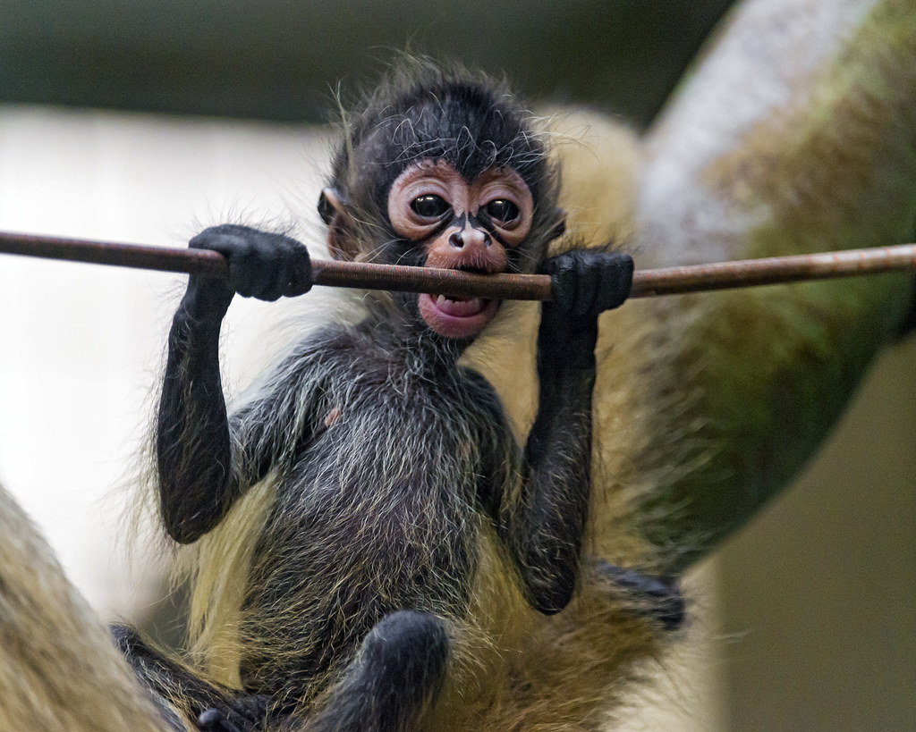 Cute Baby Spider Monkeys Cute Spider Monkey Baby And