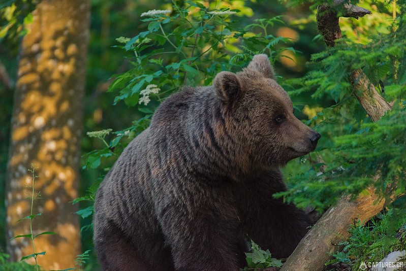 Brown bear 5 - Slovenia