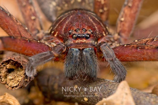 Huntsman Spider (Heteropoda sp.) - DSC_7654