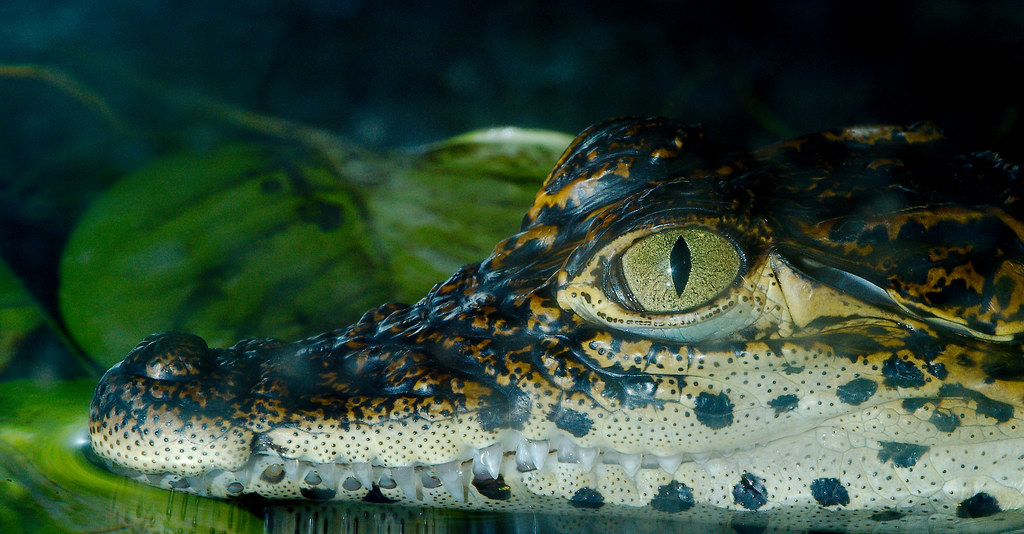 Cuban Crocodile (Crocodylus rhombifer)_3