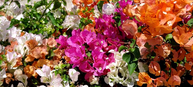 bougainvillea colors