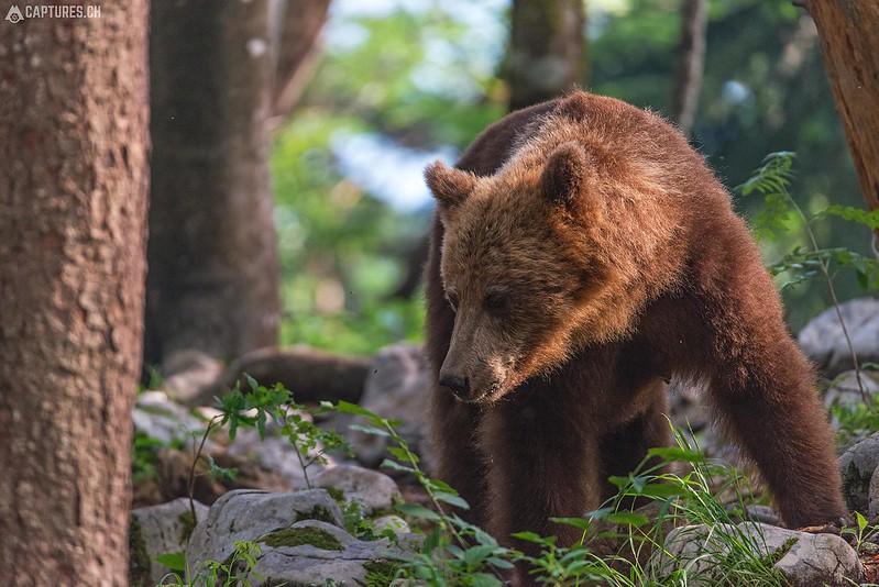 Brown bear 11 - Slovenia